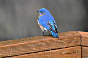 bluebirdtweetpic